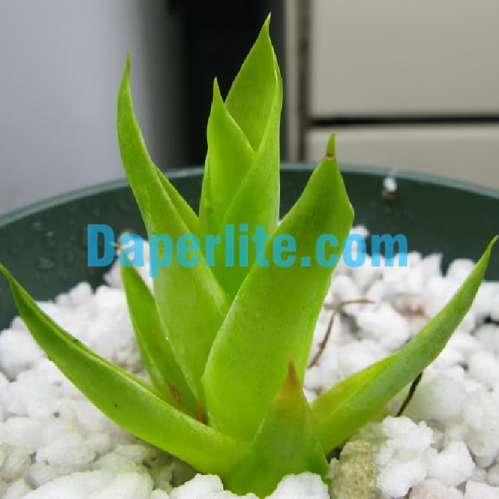 Trồng cây dựa vào đặc tính của từng loại đá Perlite và Vermiculite để đạt hiệu quả cao