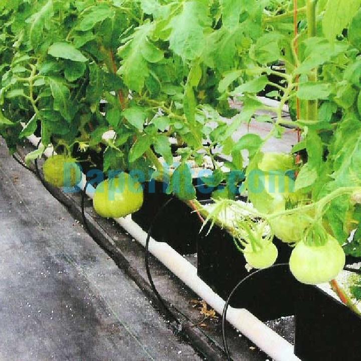 Sử dụng đá Perlite trồng cà chua đạt năng suất cao