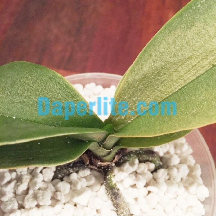 Đá Perlite sử dụng trồng lan hiệu quả cao