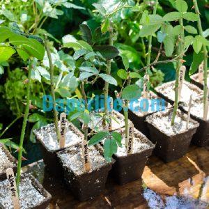 Đá Perlite trồng hoa hồng rất tốt cho sự thoát nước và thoáng khí cho cây