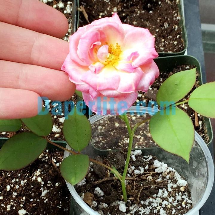 Đá Perlite kết hợp than bùn rêu trong trồng cây và hoa