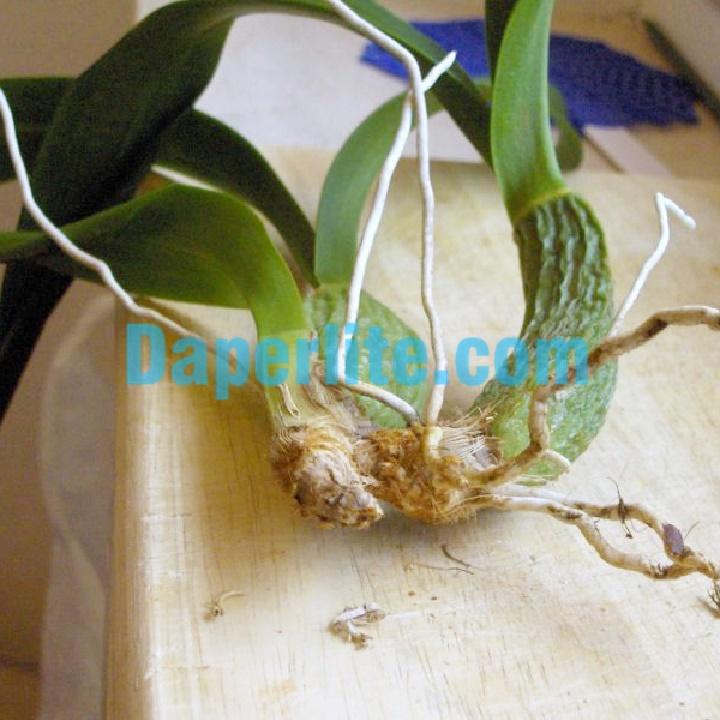 Hoa lan sử dụng đá Perlite trồng cây khá dễ dàng