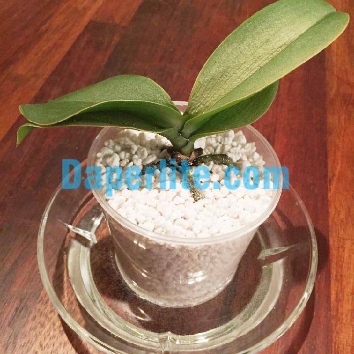 Sử dụng đá perlite trồng hoa lan giúp thoát nước tốt, giữ ẩm cao
