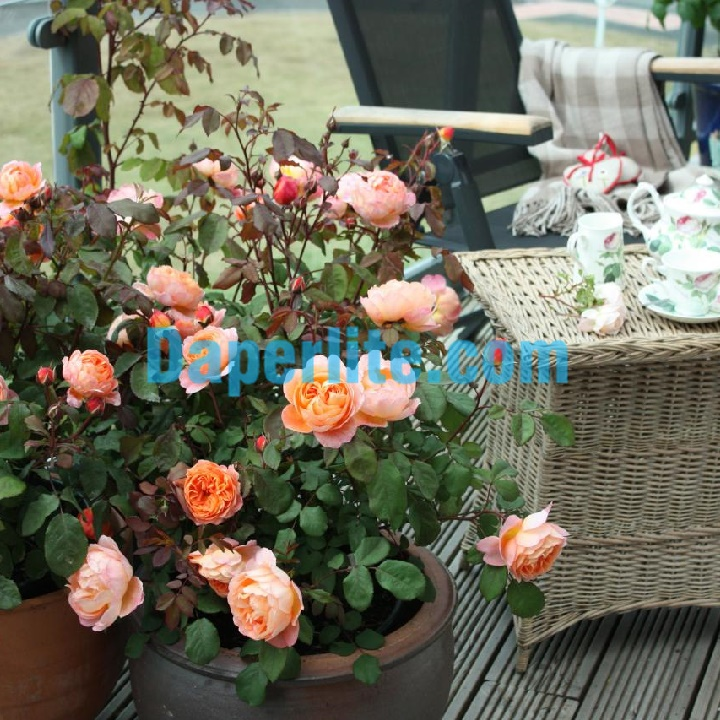 Cách trồng hoa hồng trong chậu đạt hiệu quả - hãy chú ý kỹ thuật