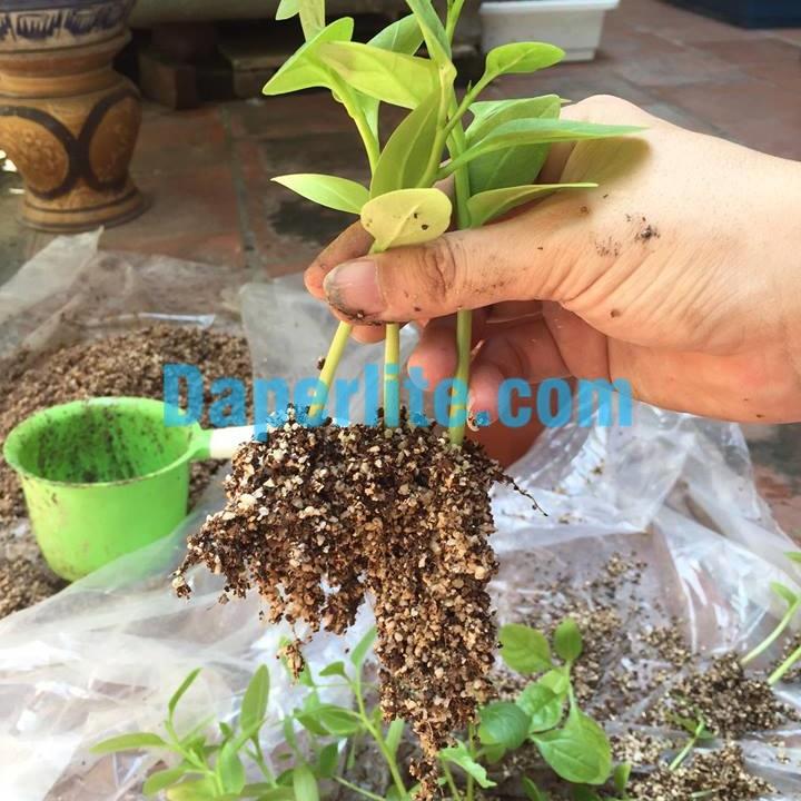 Giá thể đá Perlite trộn mùn dừa đã qua xử lý trồng cây