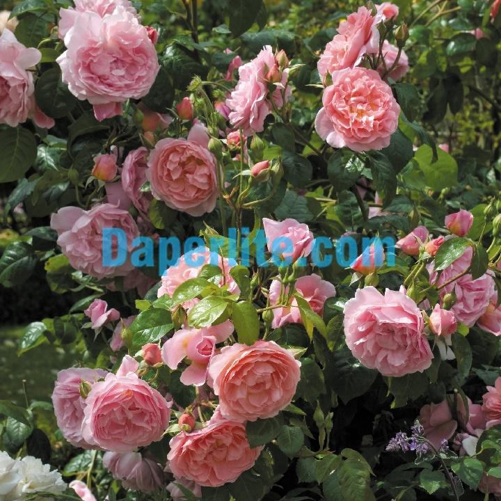 Kinh nghiệm trồng hoa hồng trong chậu đạt nhiều bông