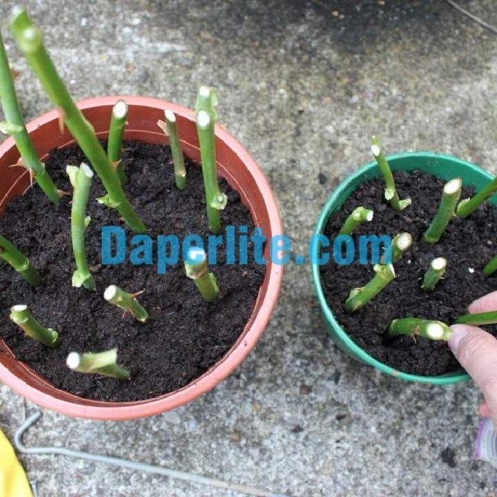 Sử dụng đất trồng hoa hồng trong chậu cần tơi xốp, thoáng khí, giữ ẩm tốt