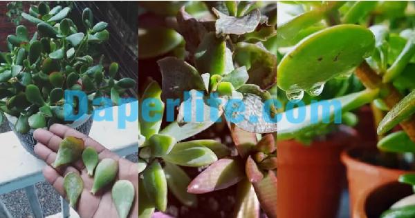 Những kỹ thuật trồng và chăm sóc cây Ngọc Bích cần lưu ý