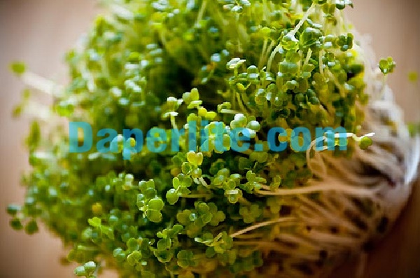 Rau mầm phát triển tươi tốt khi dùng giá thể đá Vermiculite