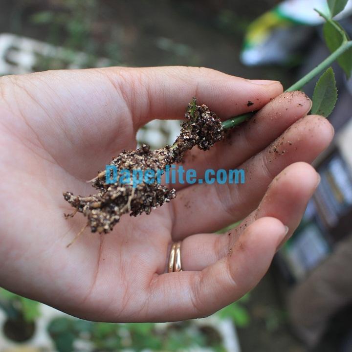 Cành hoa hồng ra rễ khi giầm cành bằng đá Vermiculite Namix