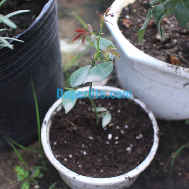 Trồng hoa hồng với đất sạch Namix