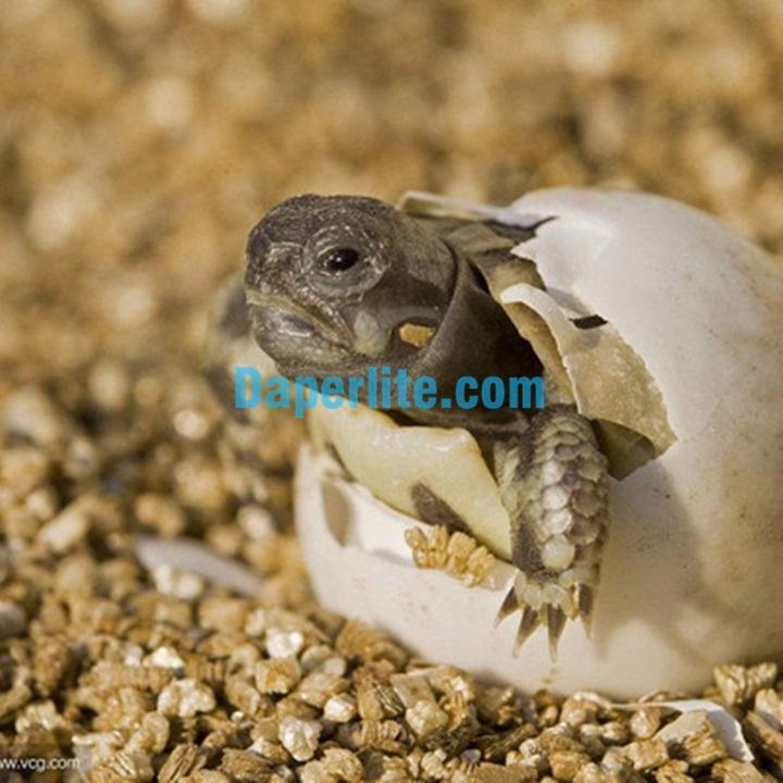 Cách sử dụng đá Vermiculite để ấp trứng rùa. Đá Vermiculite Namix chất lượng