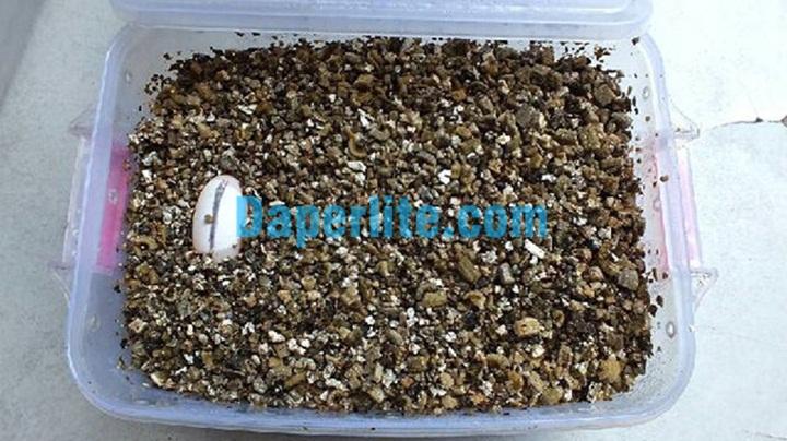 Sử dụng đá Vermiculite để ấp trứng rùa. Đá Vermiuclite Namix
