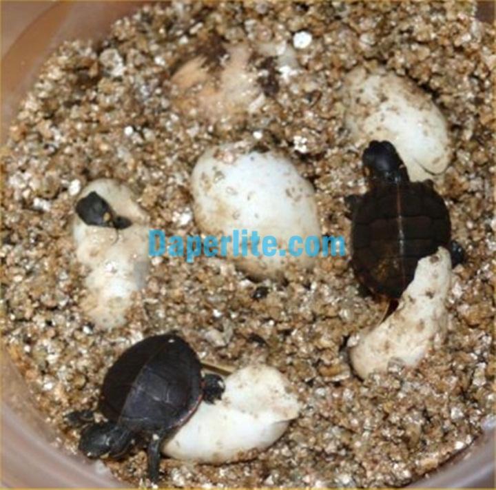 Sử dụng đá Vermiculite để ấp trứng. Đá Vermiculite Namix