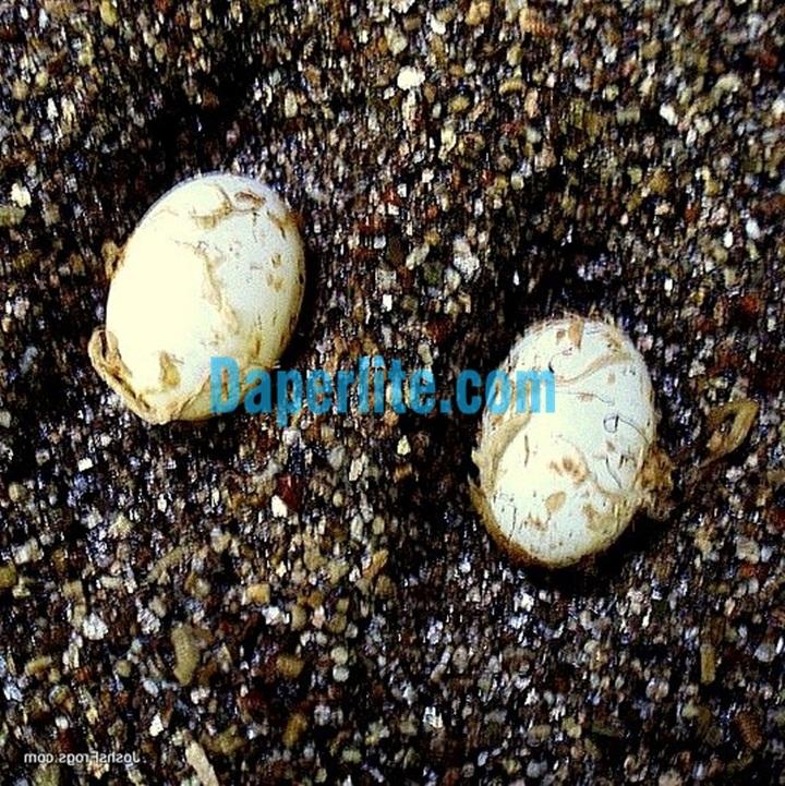 Ấp trứng Tắc kè. Đá Vermiculite Namix