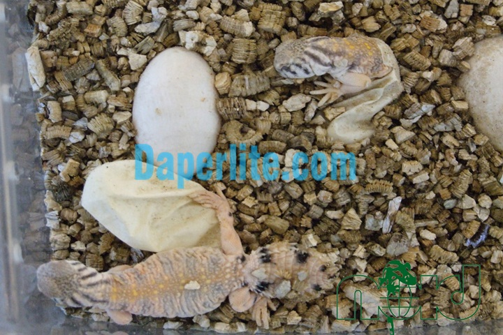 Sử dụng đá Vermiculite để ấp trứng bò sát. Đá Vermiculite Namix