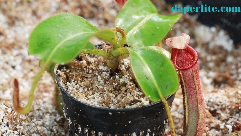 cách trồng cây nắp ấm từ ngọn giống