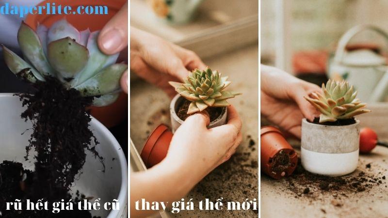 cách trồng sen đá cho người mới bắt đầu